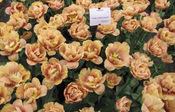 tulipe la nelle epoque keukenhof