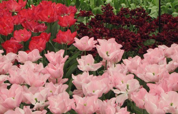tulipes v parke keukenhof